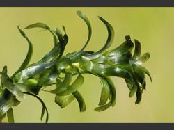 Large-Flowered_Waterweed_-Egeria_densa_3