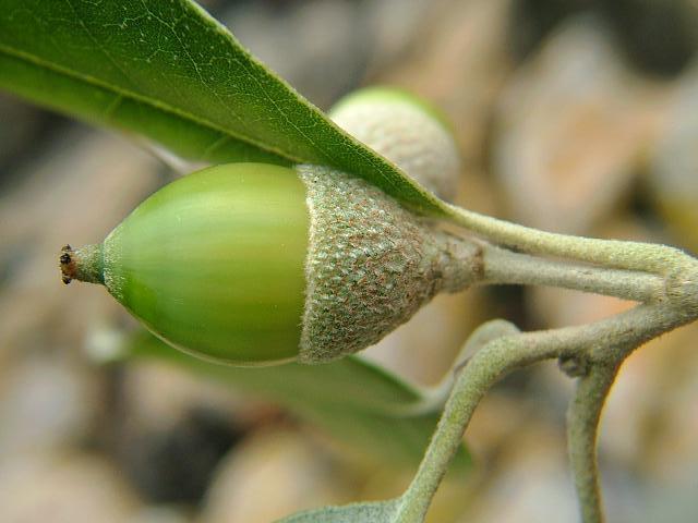 Holm oak - Quercus ilex 11