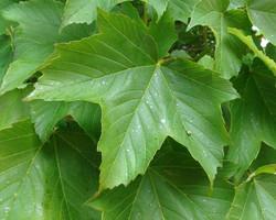 Sycamore - Acer pseudoplatanus 22
