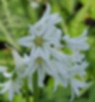 Three-cornered leek - (Allium triquetrum)