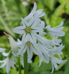 Three-cornered leek - (Allium triquetrum)
