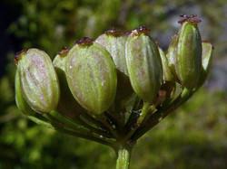 Wild parsnip - Pastinaca sativa 8
