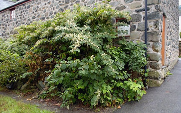 Japanese knotweed growing outside house