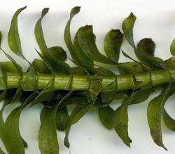 Brazilian waterweed - Egeria densa 21