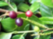 Cherry Laurel - Prunus laurocerasus Biodiversity High Risk Invasive Species