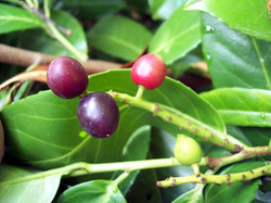 Cherry Laurel - Prunus laurocerasus 2