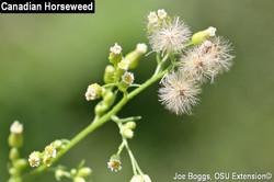 Canadian-fleabane - Conyza canadensis 17