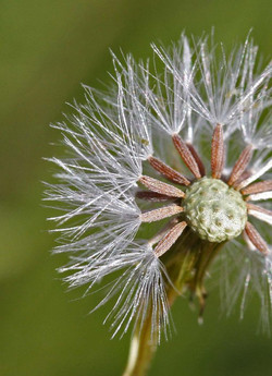 Narrow-leaved ragwort - Senecio inaequidens 30