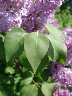 Butterfly Bush - Buddleja davidii5