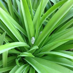Spanish_Bluebell_-Hyacinthoides_hispanica_7