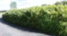 Himalayan Knotweed - (Persicaria wallichii) Road-side Stand