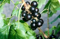 Black currant - Ribes nigrum 22
