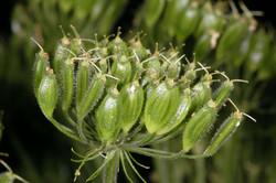 Giant Hogweed - Heracleum mantegazzianum Flower Head buds