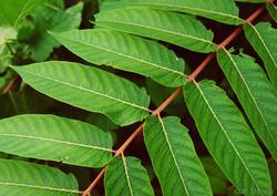 Tree of heaven - Ailanthus altissima 18