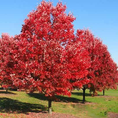 Red oak - Quercus rubra 29