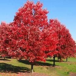Red oak - Quercus rubra 29