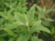 Butterfly-bush - Buddleja davidii Leaves