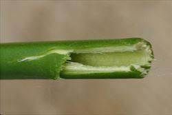 Himalayan honeysuckle - Leycesteria formosa 31