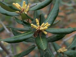 Holm oak - Quercus ilex 8