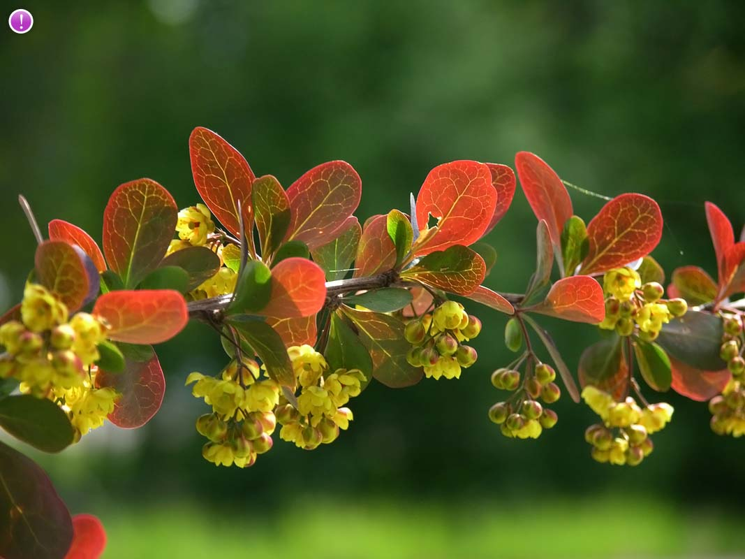 Barberry - Berberis vulgaris 11