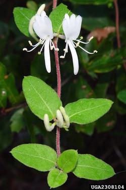 Japanese honeysuckle - Lonicera japonica 31