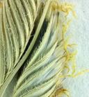 Alkali cordgrass - Spartina gracilis 14