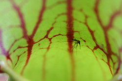 Pitcherplant - Sarracenia purpurea 4