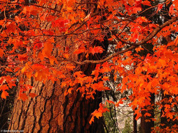 Red oak - Quercus rubra 9