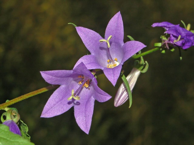 Creeping Bellflower - Campanula rapunculoides 1