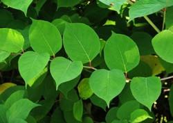 Japanese_Knotweed_-Fallopia_japonica_Leaf_3