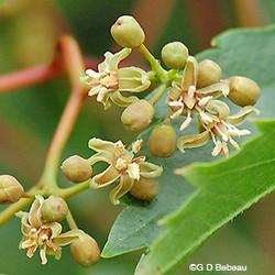 Virginia-creeper - Parthenocissus quinquefolia 48