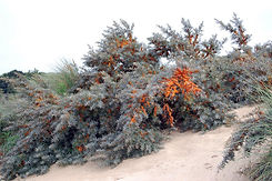 Sea-Buckthorn - Hippophae rhamnoides on sand dune