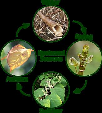 Knotweed Seasonal Identification
