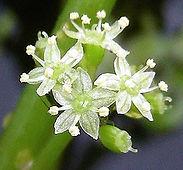 Floating Pennywort Flower