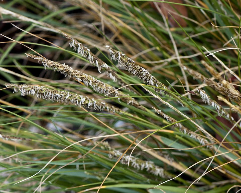 Spartina desniflora Seed Heads