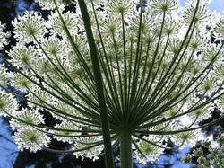 Giant Hogweed - Heracleum mantegazzianum Flower 4