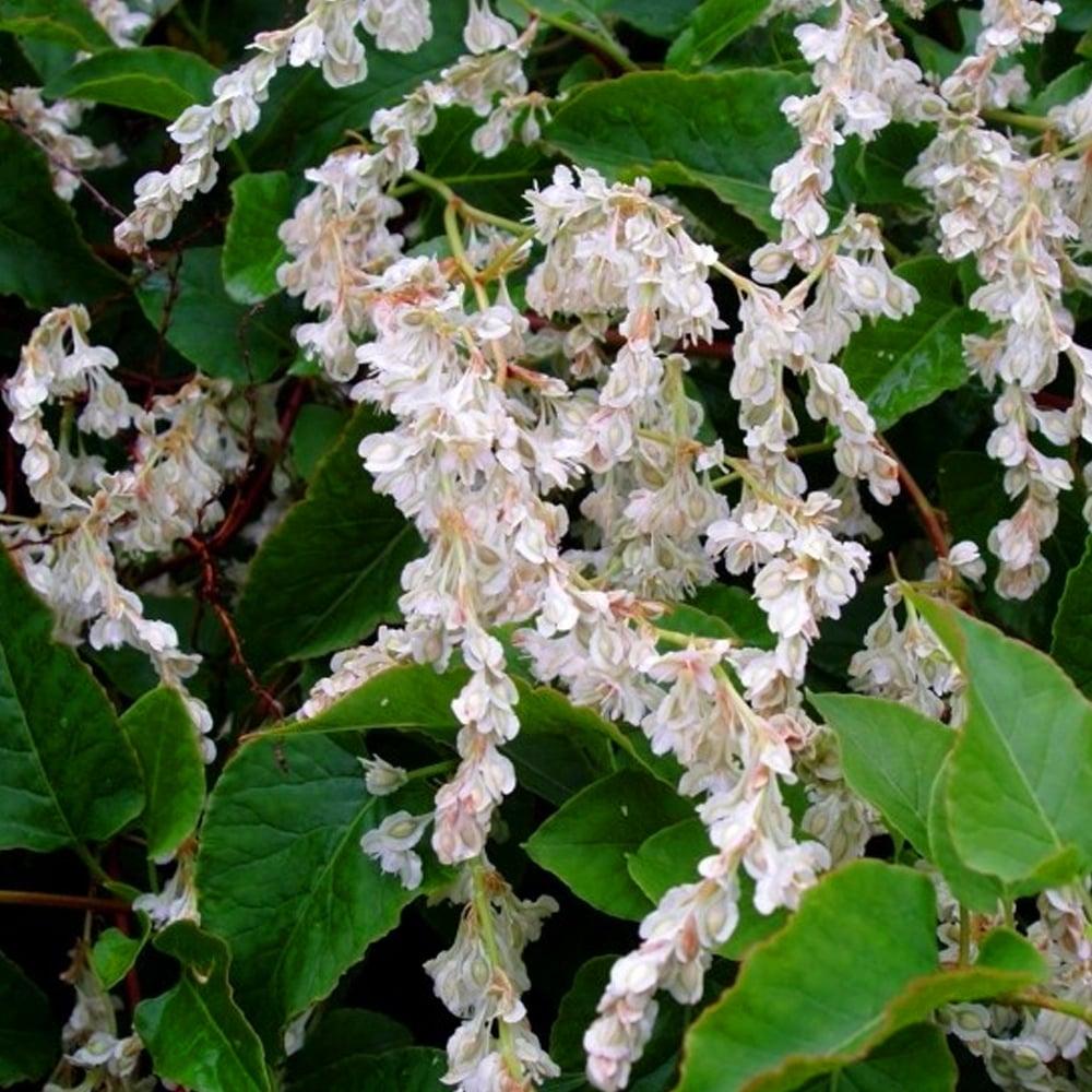Russian-vine - Fallopia baldschuanica 23
