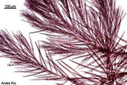 Antithamnionella ternifolia 4