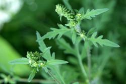 Annual bur-sage - Ambrosia artemisiifolia 21