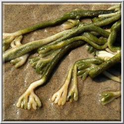 Dead man's fingers - Codium fragile ssp. tomentosoides 4