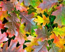 Red oak - Quercus rubra 15