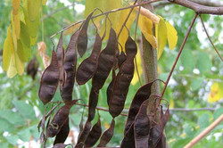 False acacia - Robinia pseudoacacia 49