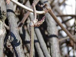 Russian-vine - Fallopia baldschuanica 5