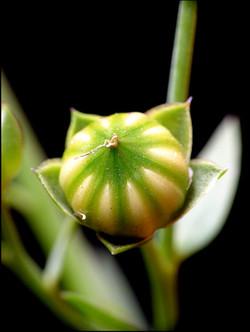 Spanish_Bluebell_-Hyacinthoides_hispanica_29