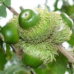 Turkey oak - Quercus cerris 13