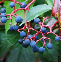 Virginia-creeper - Parthenocissus quinquefolia 27