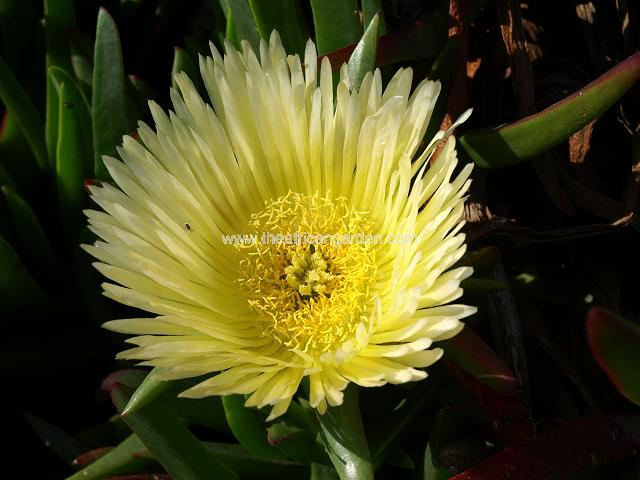 Hottentot-Fig_- Carpobrotus_edulis_11