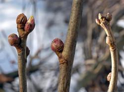 Black currant - Ribes nigrum 4