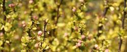 Japanese barberry - Berberis thunbergii 27