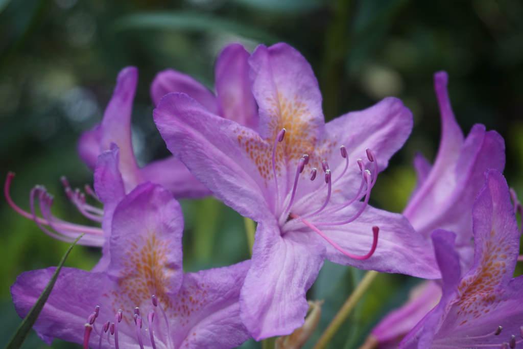 Rhododendron_-Rhododendron_ponticum37